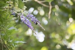 Carpintero Bee Hovering alrededor de una floración púrpura imagen de archivo