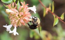 Carpintero Bee - madreselva Imágenes de archivo libres de regalías
