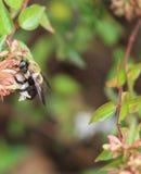 Carpintero Bee - madreselva L Imagenes de archivo
