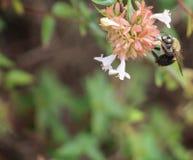 Carpintero Bee - madreselva R superior Imagen de archivo libre de regalías