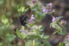 Carpintero Bee (Xylocopa) Imagenes de archivo