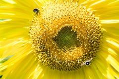 Carpintero Bees que vuela al girasol Fotografía de archivo libre de regalías