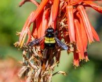Carpintero de sexo femenino Bee Fotografía de archivo libre de regalías