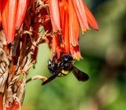 Carpintero de sexo femenino Bee Imagen de archivo libre de regalías