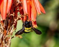 Carpintero de sexo femenino Bee Fotos de archivo