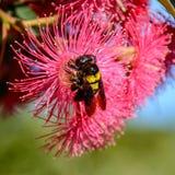 Carpintero de sexo femenino Bee Fotografía de archivo