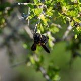 Carpintero de sexo femenino Bee Imagenes de archivo