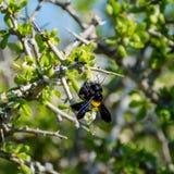 Carpintero de sexo femenino Bee Imágenes de archivo libres de regalías
