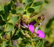 Carpintero de sexo masculino Bee Imagenes de archivo