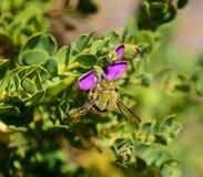Carpintero de sexo masculino Bee Foto de archivo libre de regalías