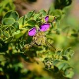 Carpintero de sexo masculino Bee Fotos de archivo libres de regalías