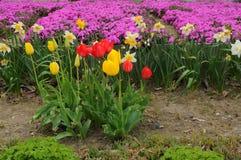 Carpintero japonés de los tulipanes y de las flores de la púrpura Imagen de archivo