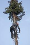 Carpintero que sube para arriba un árbol de abeto Fotos de archivo libres de regalías