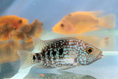 Carpintis de Herichthys (cichlid vert du Texas) Photos stock