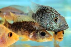 Carpintis Herichthys (πράσινο Τέξας cichlid) Στοκ Φωτογραφίες