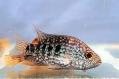 Carpintis Herichthys (πράσινο Τέξας cichlid) Στοκ εικόνες με δικαίωμα ελεύθερης χρήσης