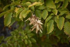 Carpinus- Betulusbaum lizenzfreie stockfotos