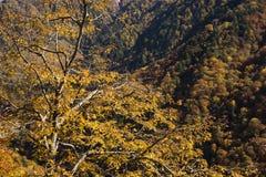 Carpinus tschonoskii tree Stock Photos