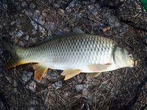 carpio cyprinus Obraz Royalty Free