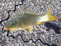 carpio cyprinus Obraz Stock