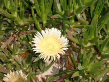 Carpobrotus Image stock
