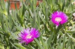 Carpobrotus acinaciforme flowers Stock Image