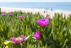 Carpobrotus acinaciformis. Against the sea and the beach Royalty Free Stock Photo