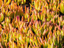 Carpobrotus acinaciformis Royalty Free Stock Photo