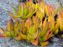 Carpobrotus acinaciformis Stock Images