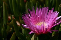 Carpobrotus with succulent leaves and large pink flowers. royalty free stock photos