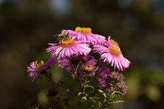 Carpobrotus with bee Royalty Free Stock Photo