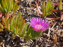 Carpobrotus edulis blossom Stock Photos