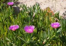 Carpobrotus edulis blossom. Beautiful blossom of carpobrotus edulis Royalty Free Stock Image