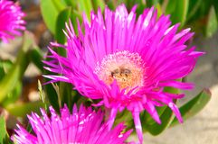 Carpobrotus edulis flower, Italy, Fico degli Ottentotti Royalty Free Stock Photo