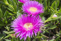 Carpobrotus edulis (Hottentot-fig, ice plant, highway ice plant Stock Photo
