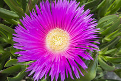 Carpobrotus edulis (Hottentot-fig, ice plant, highway ice plant Royalty Free Stock Photos