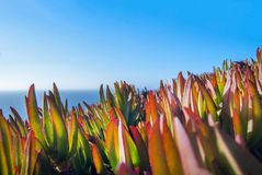 Carpobrotus edulis Hottentot Fig on the Ocean, Cabo Da Roca, Sintra, Portugal Royalty Free Stock Photos