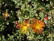 Carpobrotus edulis o planta de hielo fotos de archivo