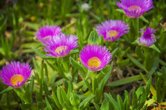 Carpobrotus edulis pink ice plant Royalty Free Stock Images