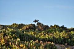 Carpobrotus edulis - Plants and Fauna at Cape Rock stock photo