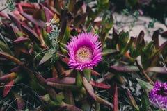 Carpobrotus edulis purpere bloem Close-upmening van wilde groene succulente achtergrond Wilde roze bloemen bij het strand Stock Afbeelding
