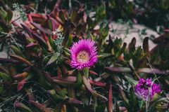 Carpobrotus edulis purple flower. Closeup view of wild green succulent background. Wild pink flowers at the beach.