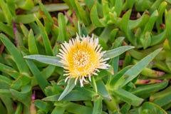 Carpobrotus figi autostrady lodowej rośliny edulis żółty kwiat Obraz Stock