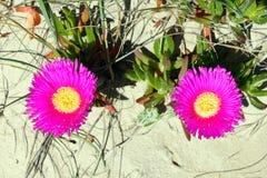 Carpobrotus flowers on a sand Stock Photos