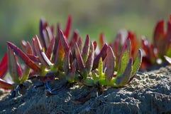 Carpobrotus, pigface, lodowa roślina, kwaśna figa zdjęcie royalty free