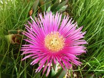 Carpobrotus. Pink exotic flower on a background of green grass Royalty Free Stock Images