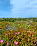 Carpobrotus pink flowers on shore. Stock Photos
