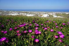 Carpobrotus succulent flowers with Pyrgos village in background. Royalty Free Stock Photos