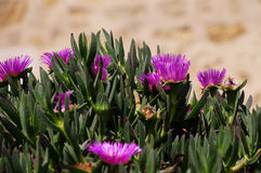 Carpobrotus succulent plant with pink flowers Royalty Free Stock Images