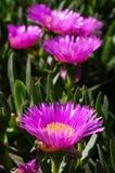 Carpobrotus succulent plant with pink flowers Stock Photos